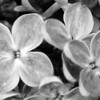Black and White photos of Lilacs by Deborah Carney.--DSC08507