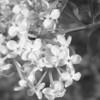 Black and White photos of Lilacs by Deborah Carney.--nokomis-DSC08808