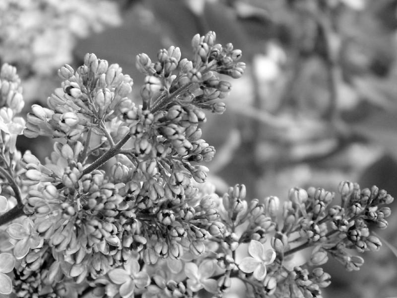 Black and White photos of Lilacs by Deborah Carney.--DSC08509