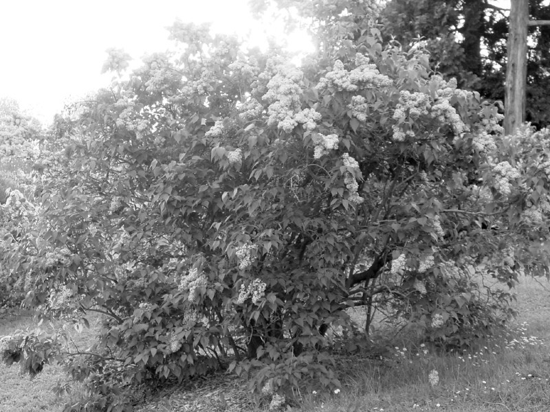 Black and White photos of Lilacs by Deborah Carney.--DSC08657