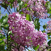 excel-DSC03504 Lilac photos by Deborah Carney