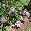 excel-DSC03508 Lilac photos by Deborah Carney