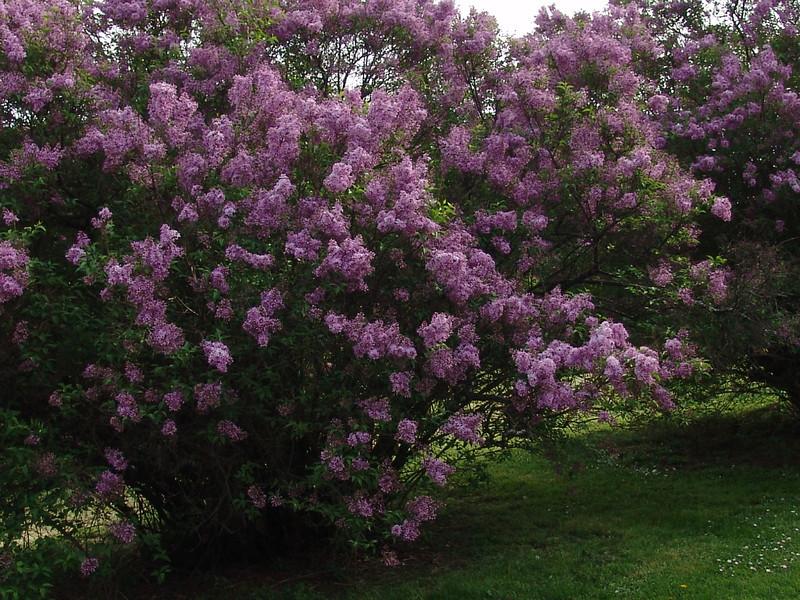 rouen-DSC03935 Lilac photos by Deborah Carney