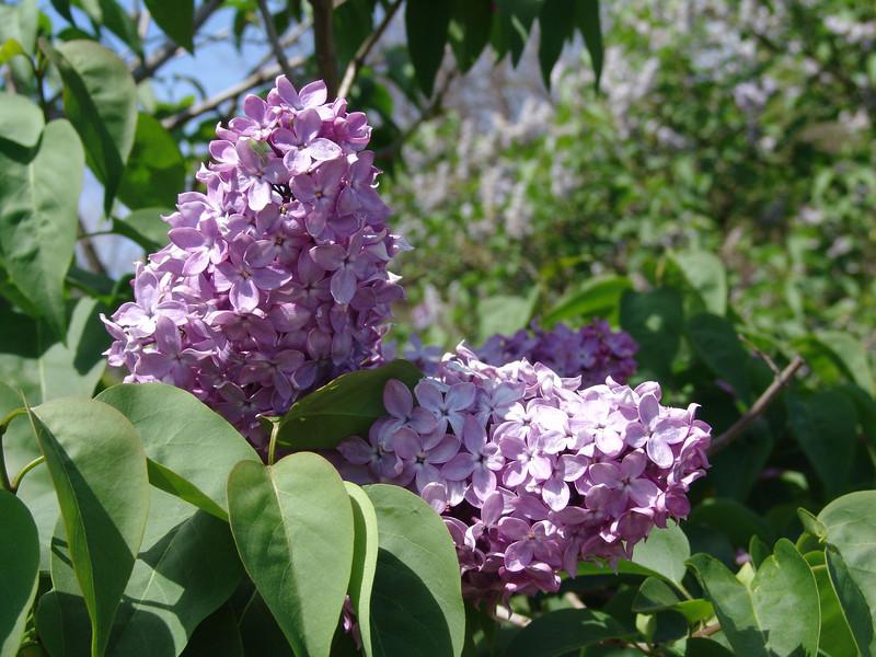 dr-lindley-DSC04088 Lilac photos by Deborah Carney