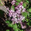 excel-DSC03502 Lilac photos by Deborah Carney
