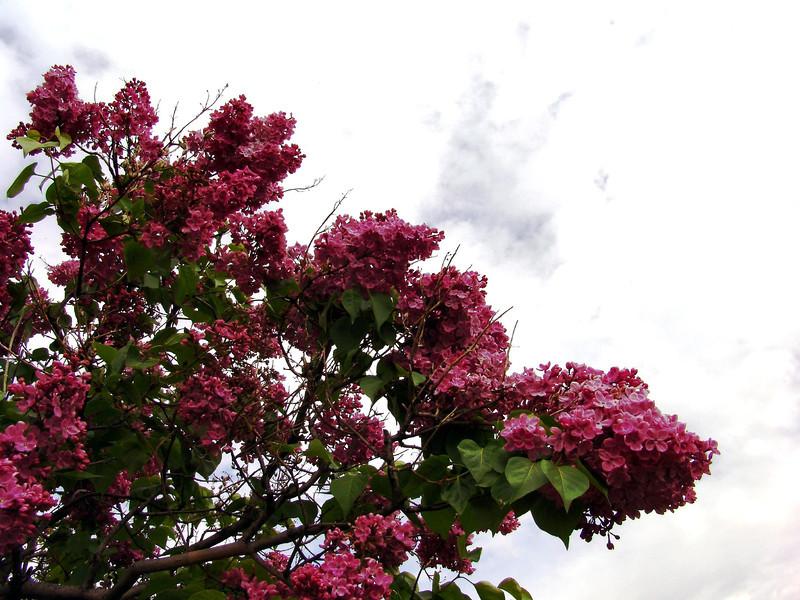 fenicchia-DSC04354 Lilac photos by Deborah Carney