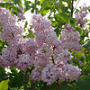 fenelon-DSC02845 Lilac photos by Deborah Carney