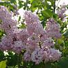 fenelon-DSC02845 Lilac photos by Deborah Carney