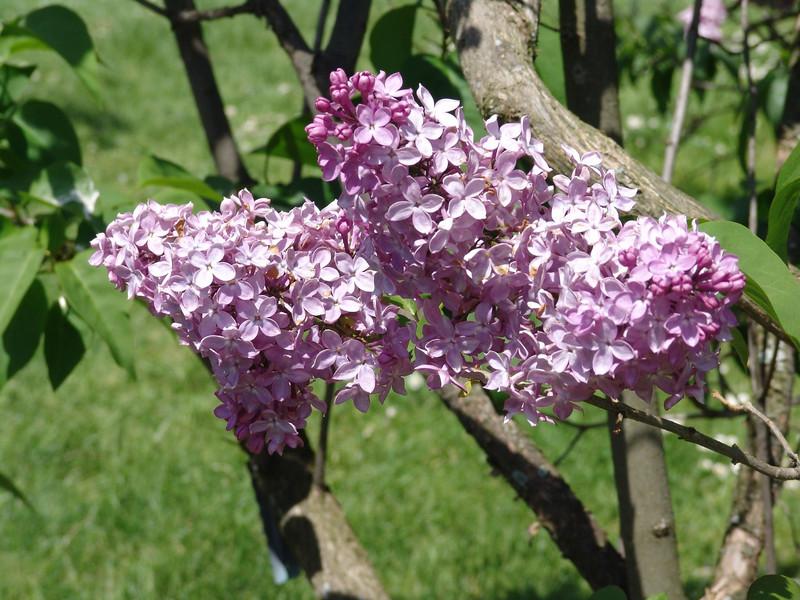 dr-lindley-DSC04079 Lilac photos by Deborah Carney