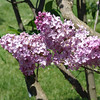dr-lindley-DSC04079 Lilac photos by Deborah Carney