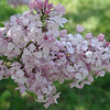 fenelon-DSC02841 Lilac photos by Deborah Carney