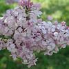 fenelon-DSC02841 Lilac photos by Deborah Carney