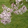 oblata-DSC03069 Lilac photos by Deborah Carney