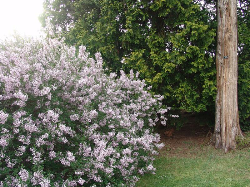cutleaf-DSC03204 Lilac photos by Deborah Carney