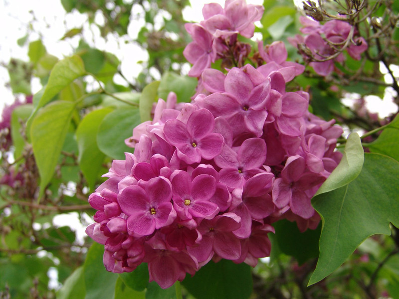 fenicchia-DSC04363 Lilac photos by Deborah Carney