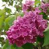 fenicchia-DSC04363 Lilac photos by Deborah Carney