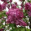 fenicchia-DSC04350 Lilac photos by Deborah Carney