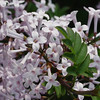 cutleaf-DSC01326 Lilac photos by Deborah Carney