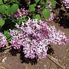 excel-DSC03503 Lilac photos by Deborah Carney