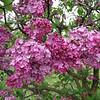 fenicchia-DSC04348 Lilac photos by Deborah Carney
