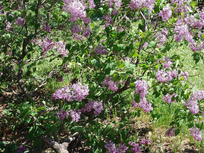 excel-DSC03479 Lilac photos by Deborah Carney