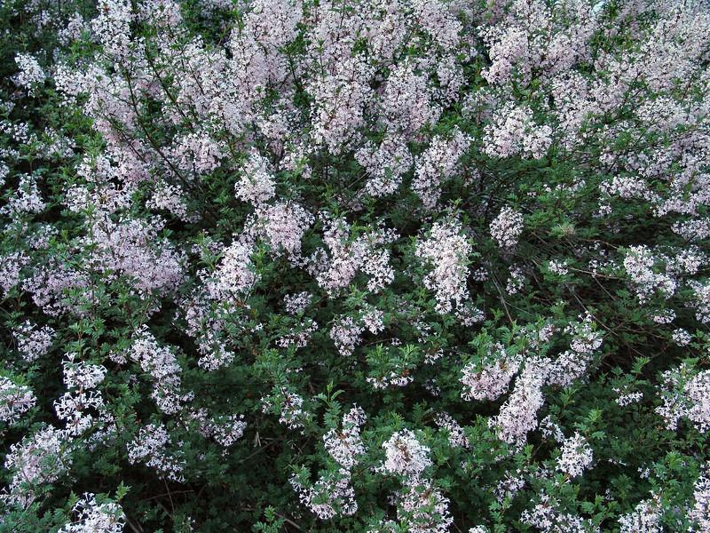 cutleaf-DSC03185 Lilac photos by Deborah Carney
