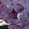serene-DSC01522 Lilac photos by Deborah Carney