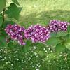 ostrander-DSC03831 Lilac photos by Deborah Carney