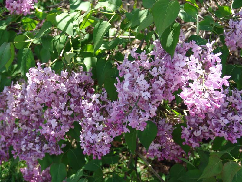 excel-DSC03488 Lilac photos by Deborah Carney