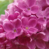 fenicchia-DSC04364 Lilac photos by Deborah Carney