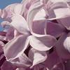 serene-DSC01517 Lilac photos by Deborah Carney