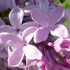 serene-DSC01523 Lilac photos by Deborah Carney