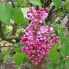 fenicchia-DSC04362 Lilac photos by Deborah Carney