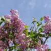 excel-DSC03506 Lilac photos by Deborah Carney