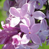 serene-DSC01524 Lilac photos by Deborah Carney
