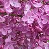 fenicchia-DSC04357-2 Lilac photos by Deborah Carney