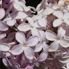 orthwaite-DSC01749 Lilac photos by Deborah Carney