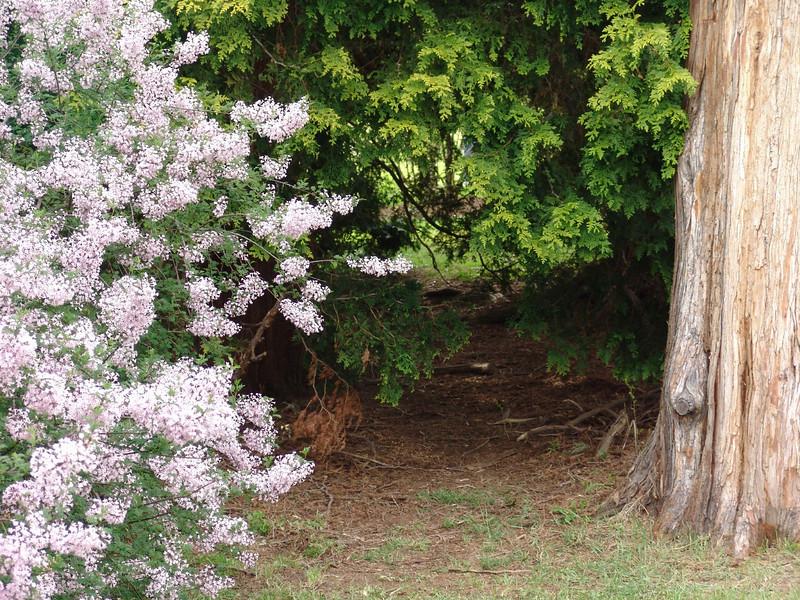 cutleaf-DSC03202 Lilac photos by Deborah Carney