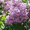 excel-DSC03490 Lilac photos by Deborah Carney