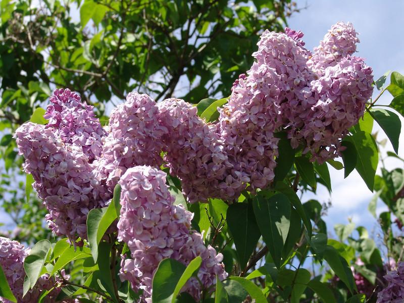 dr-lindley-DSC04075 Lilac photos by Deborah Carney