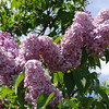 dr-lindley-DSC04075 Lilac photos by Deborah Carney