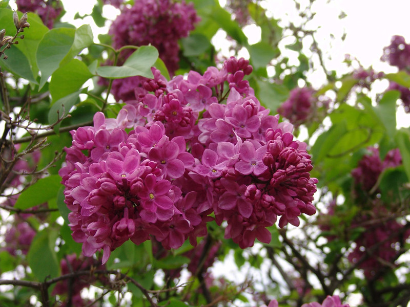 fenicchia-DSC04365 Lilac photos by Deborah Carney