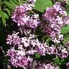 excel-DSC03501 Lilac photos by Deborah Carney