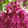 fenicchia-DSC04360 Lilac photos by Deborah Carney
