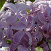 serene-DSC01519 Lilac photos by Deborah Carney
