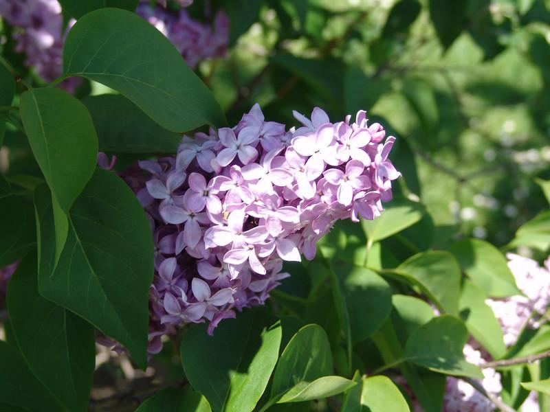 dr-lindley-DSC04073 Lilac photos by Deborah Carney