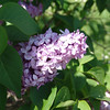 dr-lindley-DSC04073 Lilac photos by Deborah Carney