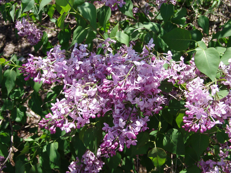 excel-DSC03485 Lilac photos by Deborah Carney