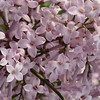 cutleaf-DSC01331 Lilac photos by Deborah Carney
