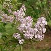 oblata-DSC03033 Lilac photos by Deborah Carney